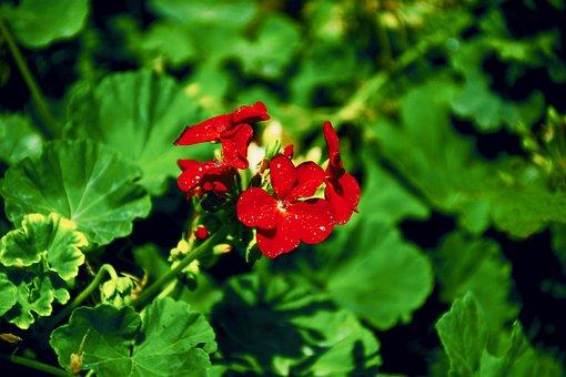 Caesalpinia, Americas, Fabaceae, Nature, Flower, Plant