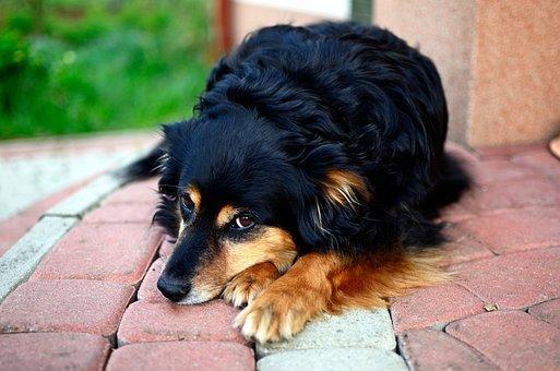 Dog, Animal, It Lies, Coat, Rest, Nanny, Head, Fur