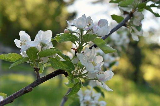 Apple Tree, Tree, Branch, Flowers, Bloom, Apple, Spring