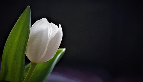 White Tulip, Background, Tulips, Merry, Bloom, Spring