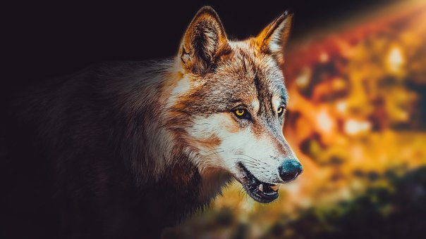 Wallpaper, Background, Wolf, Animal, Wild, Wildlife