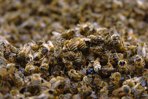 Bees, Bee Deaths, Pesticidal, Insect, Death, Nature