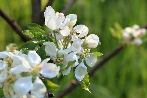 Apple Tree, Tree, Branch, Flowers, Bloom, Apple, Spring