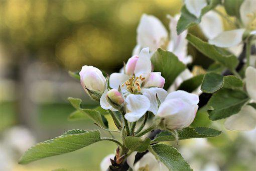 Apple Tree, Tree, Blossom, Bloom, Flower, White, Bloom