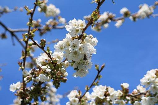 Cherry Tree, Blossom, Bloom, Tree, Nature, Bloom