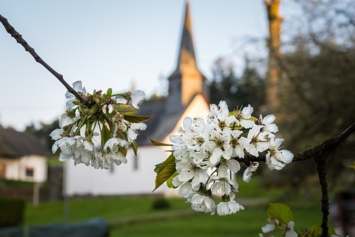 Apple Blossoms, Apple Tree, Church, Blossom, Bloom