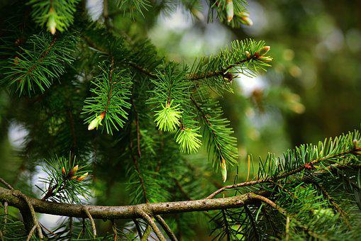 Pine, Conifer, Tree, Branch, Needle, Young Green