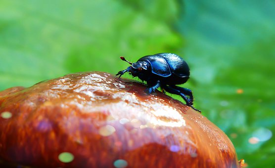 Forest Beetle, The Beetle, Mushroom, Colors, Bokeh
