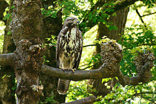 Common Buzzard, Bird, Predator, Feather, Plumage, Beak