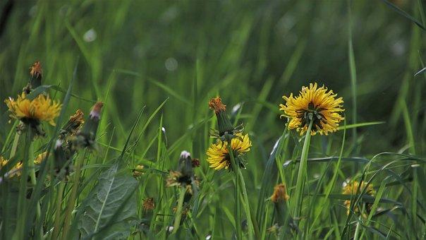 Green, Dandelion Meadow, Spring, Grass, Wild Plants
