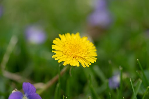 Dandelion, Grass, Weed, Nature, Spring, Flower, Yellow