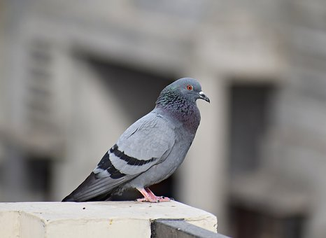 Pigeon, Bird, Dove, Animal, Wings, Feathers, Nature