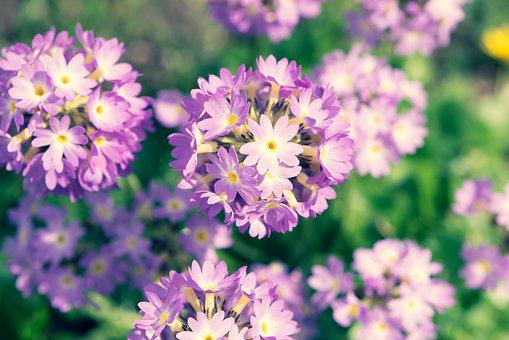 Drumstick, Primrose, Flowers, Spring, Garden, Close Up