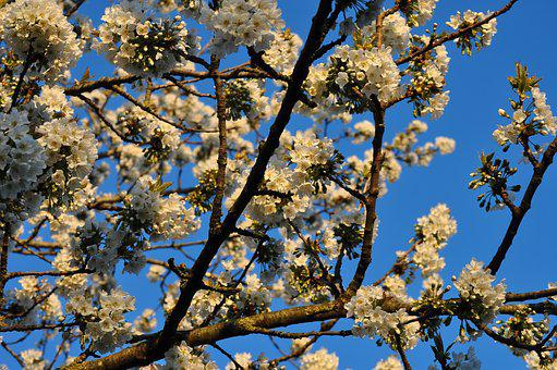Cherry Blossom, Cherry Blossoms, Flowers, Sky, Evening