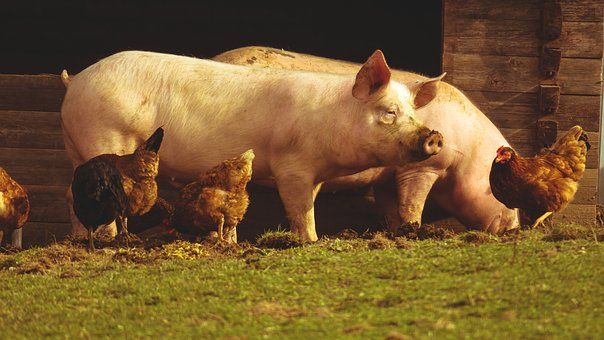 Pigs, Chickens, Farm, Eat, Watch, Look, View