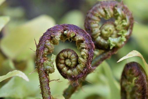 Fern, Fern Leaf, Leaf, Rolled Up, Fern Plant