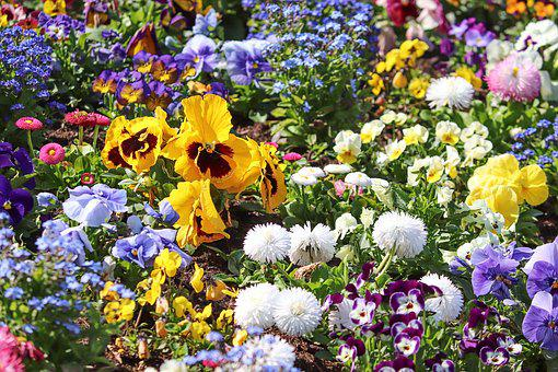 Spring Flowers, Colorful, Flower Bed, Pansy, Bellis