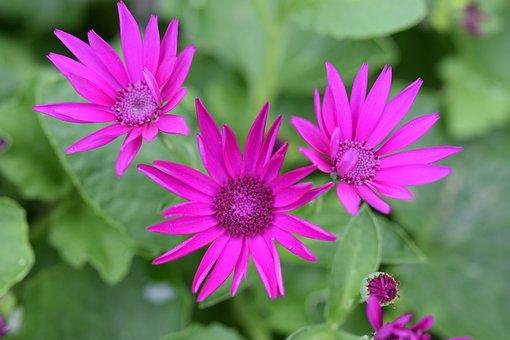 Flower, Flowers, Flower Color Fushia, Fuchsia Pink