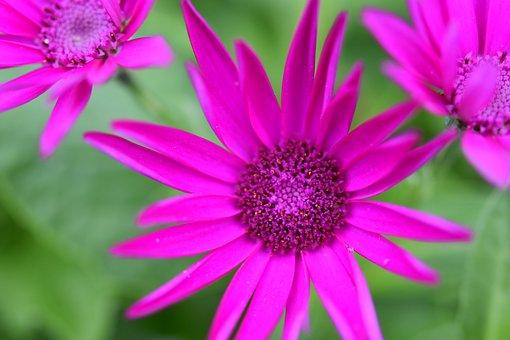 Flower, Flower Color Fushia, Flower Petal, Nature
