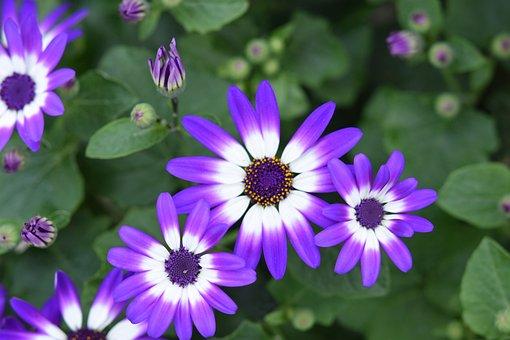 Flower, Flowers, Flower Senicio Senetti