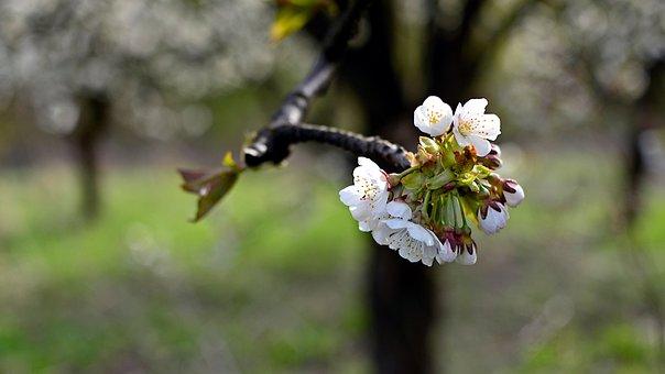 Flowers, Cherry, Spring, Nature, Tree, Flower, Garden