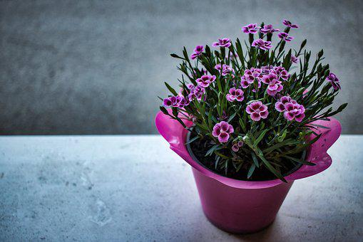 Carnation, Flowers, Violet, Flower, Nature, Spring