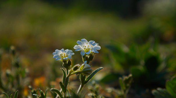 Nature, Plants, Meadow, Green, Flowering, White, Flower