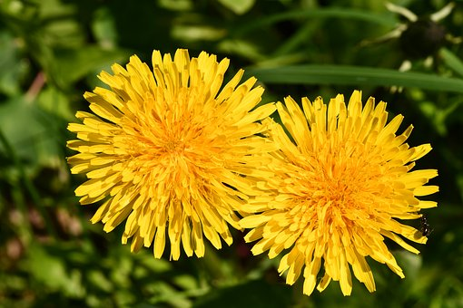 Flowers, Dandelion, Ant, Spring, Yellow, Starry