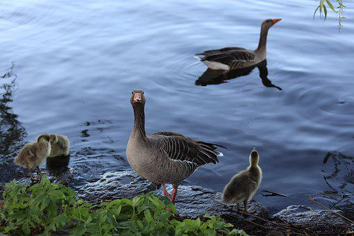 Geese, Gray Geese, Geese Family
