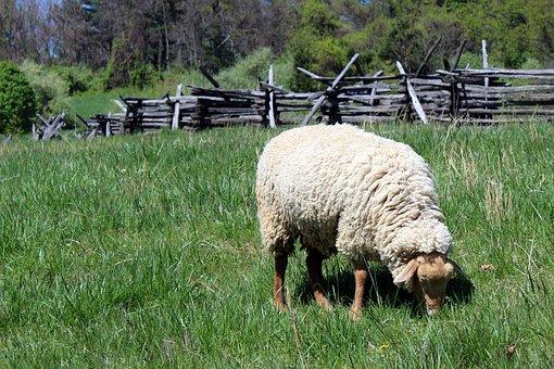 Frontier Culture Museum Of Virginia, Grazing Sheep