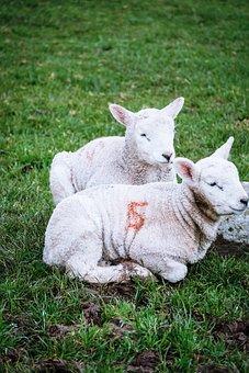 Lambs, Ireland, Sheep, Livestock, Farm, Green, Rural