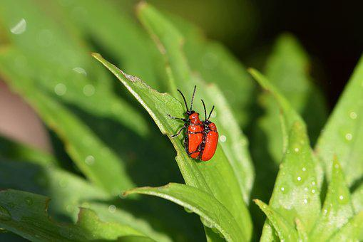 Beetle, Red, Lily Chicken, Lilioceris Lilii