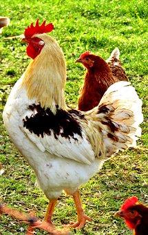 Hahn, Animal, Portrait, Poultry, Livestock, Plumage