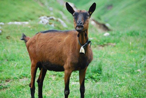 Capra, Animal, Livestock, Pasture, Nature