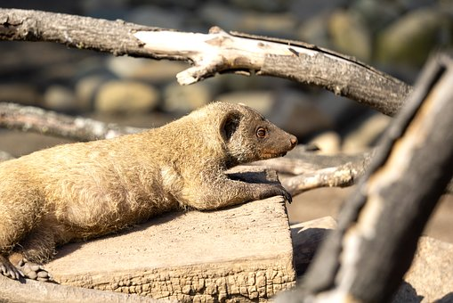 Animal, Mongoose, Mammal, Meerkat, Zwergmanguste, Cute