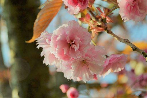 Tree, Cherry, Spring, Pink, Flower, Nature, Branch