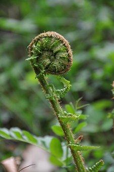 Fern, Fern Leaf, Nature, Plant, Fern Role, Roll