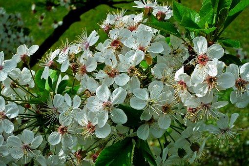 Czereśnio Cherry, Flowers, Tree, Sprig, Spring, Nature