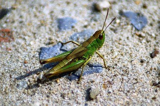 Grasshopper, Nature, Summer