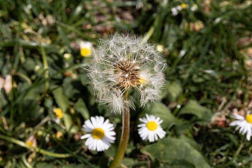 Dandelion, Flower, Nature, Taraxacum, Meadow, Summer