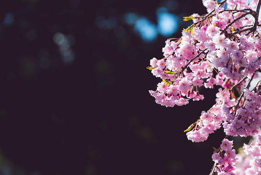 Cherry Blossom, Negative Space, Spring, Flowers, Pink
