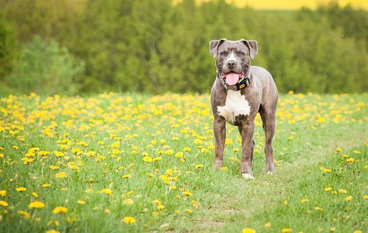 Meadow, Dog, Stand, Dandelion, Animal, Pet, Out, Grass