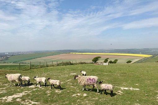 Sheep, South Downs, Outdoors, Walking, Hiking, Summer