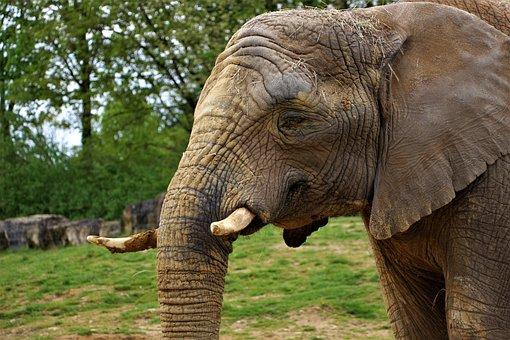 Elephant, Zoo, Beauval, Mammals, Pachyderm, Ivory, Head