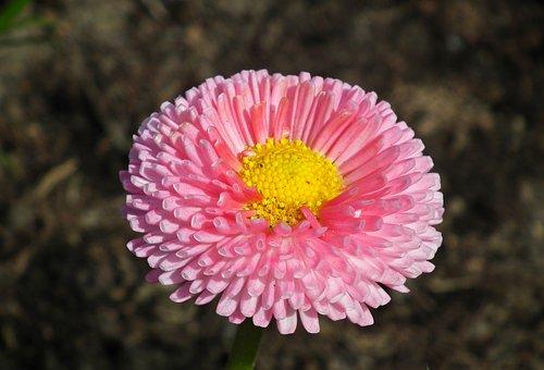 Daisy, Flower, Pink, Spring, Garden, Nature, The Petals