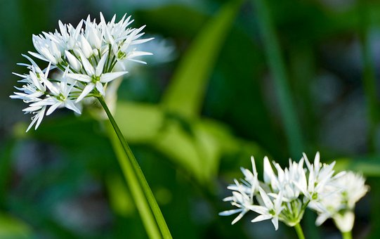 Nature, Forest, Plant, Bear's Garlic, Blossom, Bloom