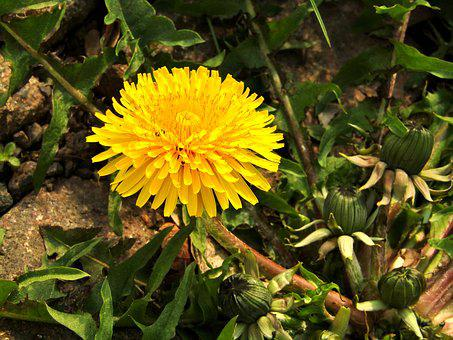 Spring, Dandelion, Close Up, Macro, Plant, Flower