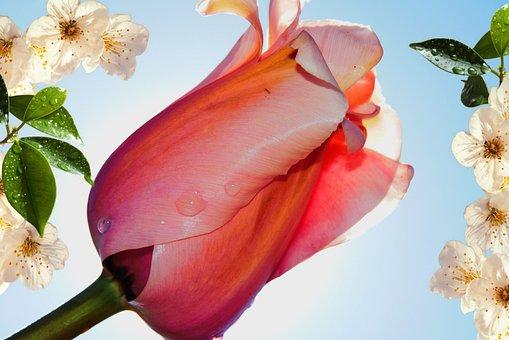 Tulip, Flowers, Spring, Drops, Rain, Plants, Nature