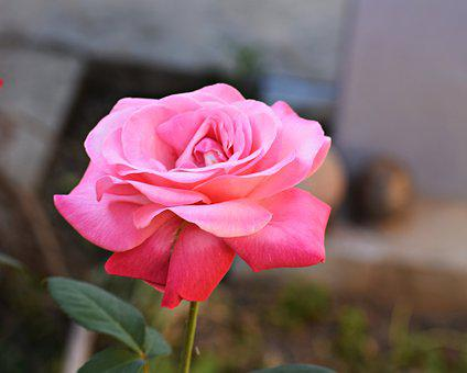 Rose, Pink, Flower, Nature, Love, Romantic, Romance