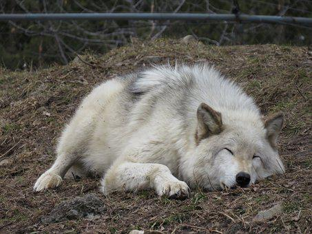Wolf, Tired, Sleep, Animal, Sleeping, Relaxed, Fur